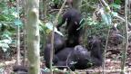VIDEO: Chimpancé juega con su cría en video viral